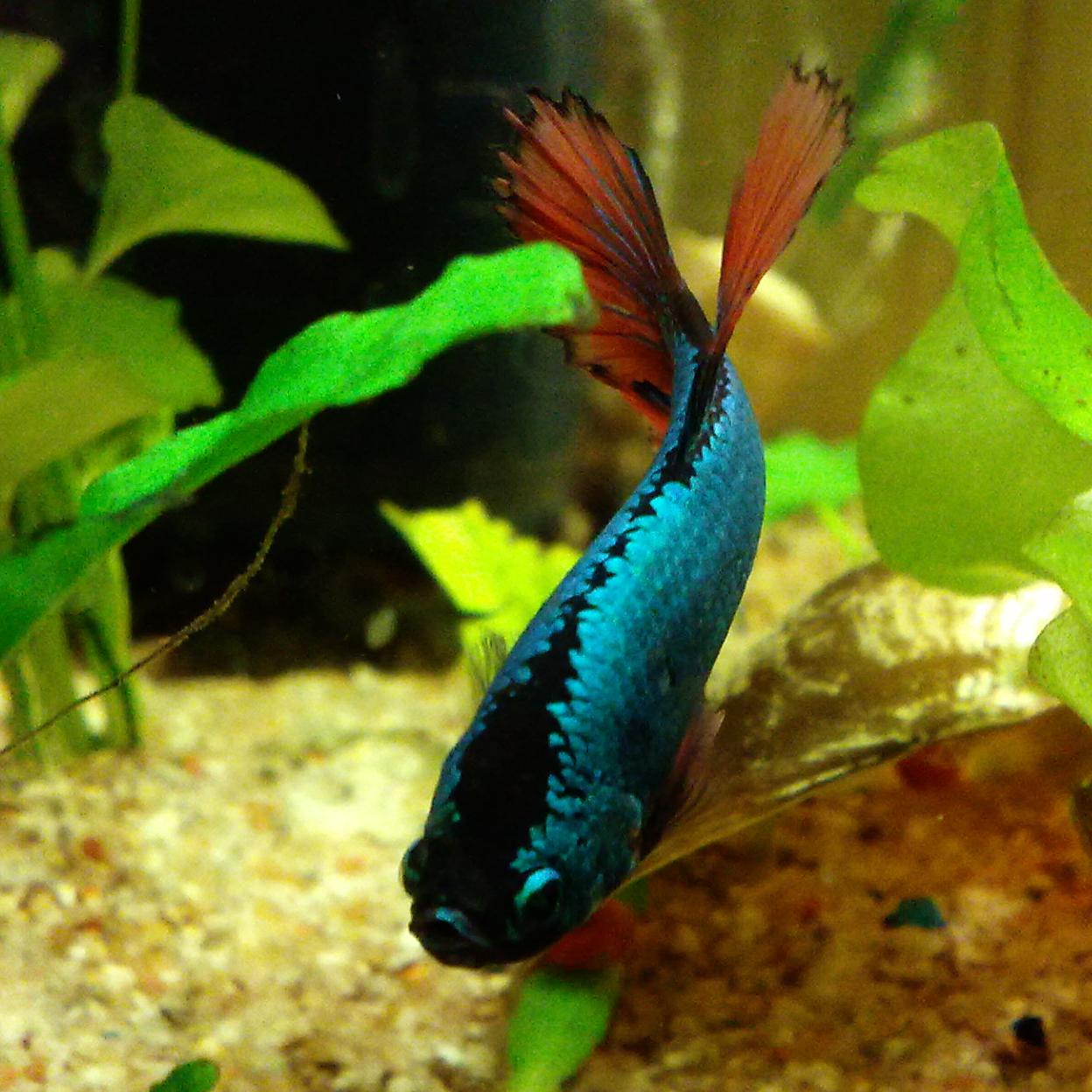 Aquaristik for Kampffisch betta